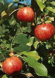 chestnut apple tree