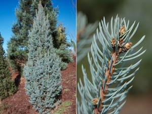 fastigata spruce